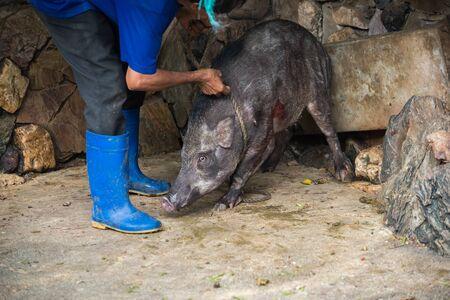 captured: The boar was captured, tortured