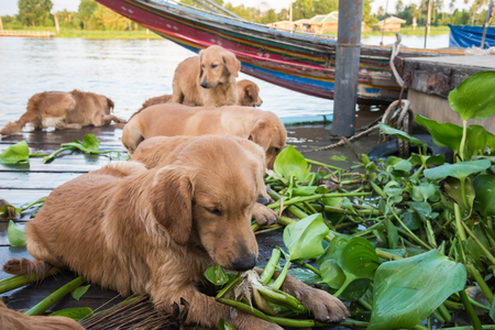 Dog golden the reactive power to eat vegetables.