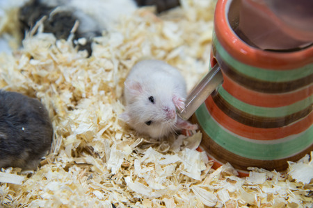 hamsters: Im drinking water, delicious, hamster Stock Photo