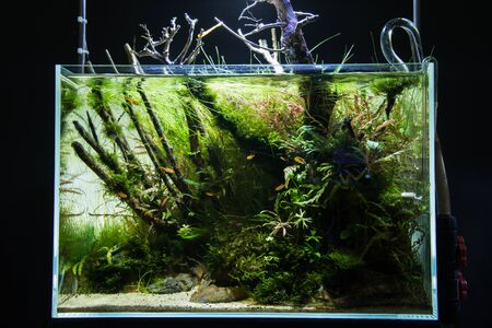 freshwater aquarium plants: Chong coral growth in fish