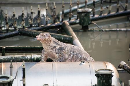 salvator: The Varanus Salvator going ashore. Stock Photo