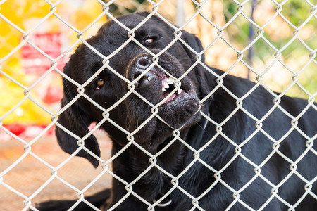 imprison: Labrador Retriever was locked in a cage. Stock Photo
