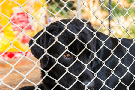 locked in: Labrador Retriever was locked in a cage. Stock Photo
