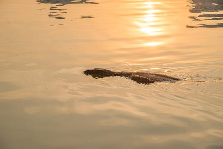 salvator: The Varanus Salvator going ashore Stock Photo