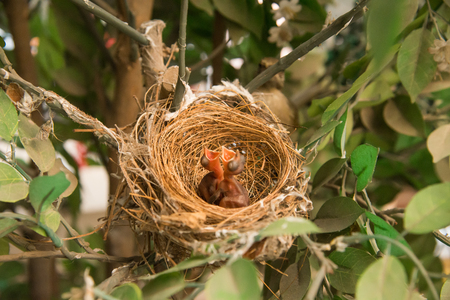 nestling: newborn bird, nestling in the nest and feather wings growth story of new born of bulbul bird which see in Thailand Stock Photo