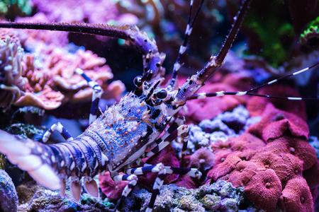 Lobster in the Sea Aquarium. Standard-Bild - 105558291