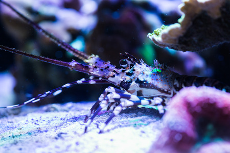 Lobster in the Sea Aquarium. Standard-Bild