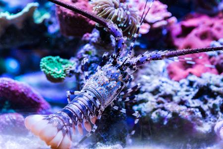 Lobster in the Sea Aquarium. Standard-Bild - 105558199
