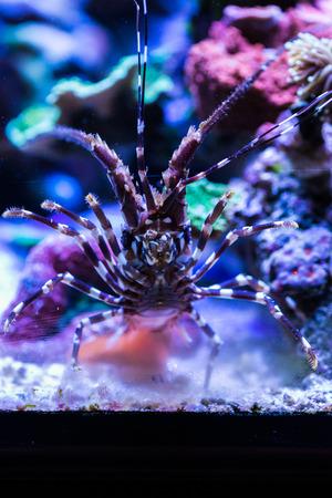 Lobster in the Sea Aquarium. Standard-Bild - 105558201