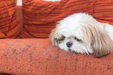 Shit Tzu dog on sofa, copy space