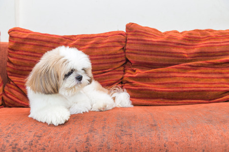 Shit Tzu dog on sofa, copy space