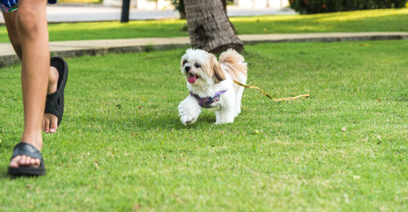 Shih Tzu dog running on Grass and Happy