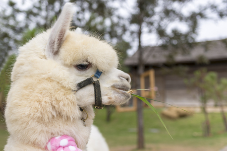 The alpaca in thailand