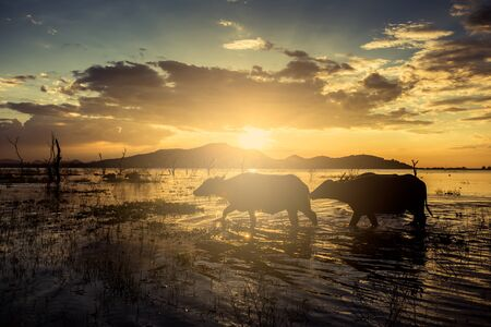 Thailand buffalo walking in water,Buffalo at sunset behind him