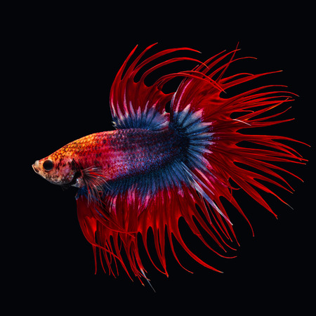 beautiful of siam betta fish in thailand on black background.