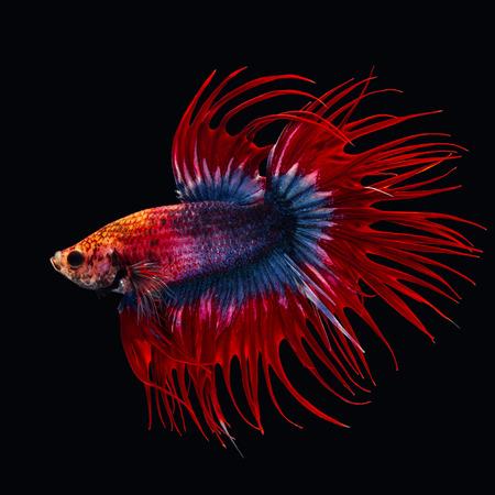 bello del pesce siam betta in thailandia su sfondo nero.
