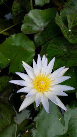 white: White lotus