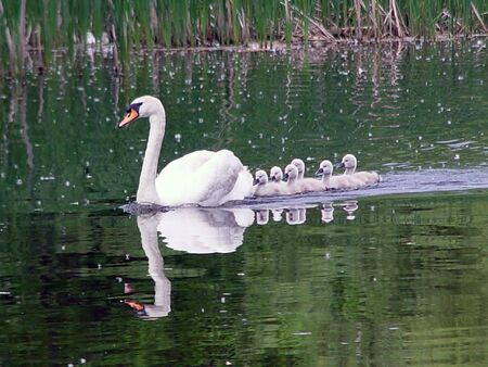 Adult white mute swan leading  swans across the pond Stock Photo - 678396