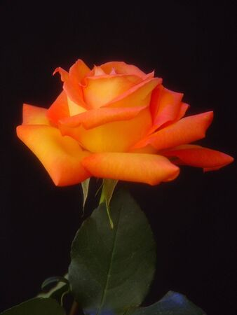 Colorful orange and yellow rose shown from the side, photographed under colored flash against a black background Imagens
