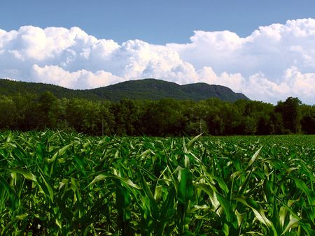 cornplants in front of trees infront of mount tom in front of clouds on a bright clear day
