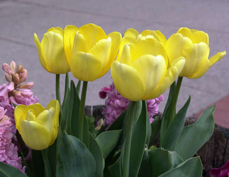 yellow potted tulips with other flowers, northampton, massachusetts