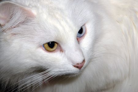 close up of white cat with two different colored eyes Banco de Imagens