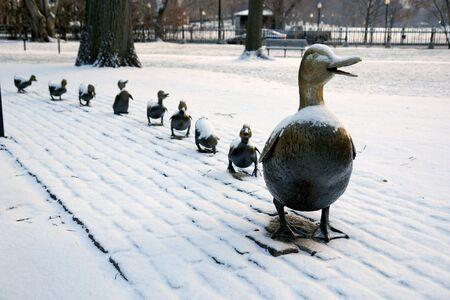 pollitos: La famosa familia de los patos en lat�n boston p�blica de los jardines despu�s de una peque�a tormenta de nieve