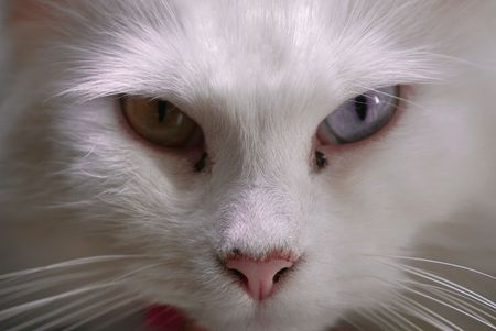 close up of  angry white turkish angora cat, one blue eye, one green eye, pink nose Stock Photo