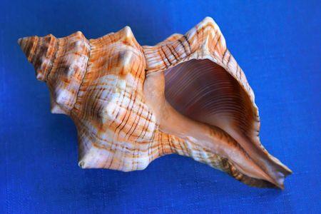 underbelly: grandi conch shell mostrando striping all'interno e underbelly  Archivio Fotografico