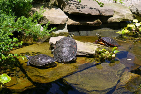 three turtles sunbathing in a man made garden rock pool