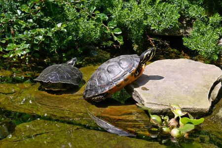 two  turtles sunbathing in a man made garden rock pool