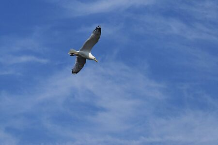 Beautiful seagull soars high in the sky looking for food