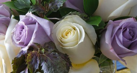 arranged: Beautiful white and purple roses in bloom arranged in bouquet