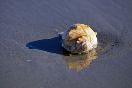 Large conch shell on the shore as the tide comes in, in bright sunshine with reflection
