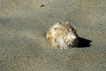 revere: a large conch sea shell half buried in the sand at revere beach, massachusetts