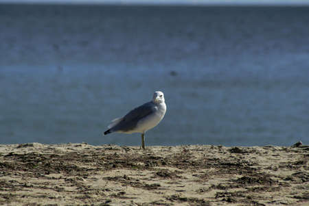 a powerful gull stands on the top of the dune looking away from the ocean