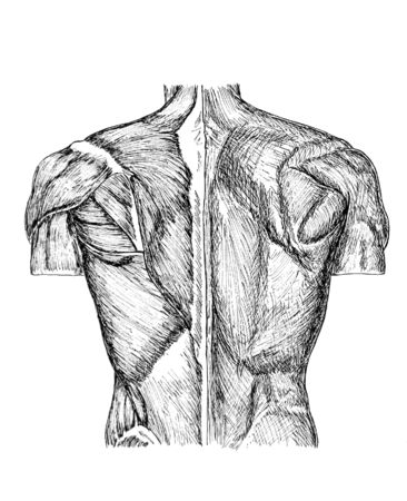 pen and ink anatomical drwaing of the back of a man showing muscles, illustration was drawn by photographer 版權商用圖片