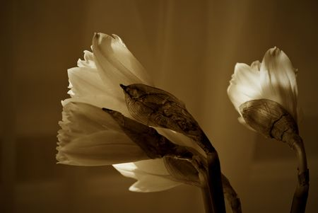 nit: a group of daffodil flowers looking to the left, just opening, nit full in bloom finished in sepia Stock Photo