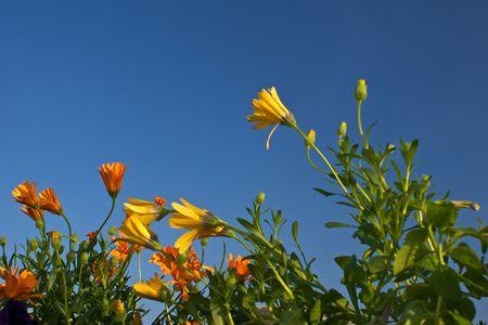 jonge bloemen van oranje en geel opgroeien om te voldoen aan de heldere blauwe hemel Stockfoto