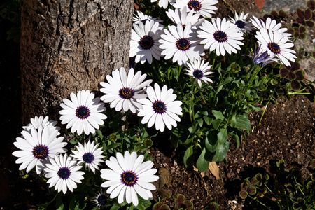 Beautiful white and purple flowers at the base of tree in full beautiful white and purple flowers at the base of tree in full sunshine on a spring mightylinksfo