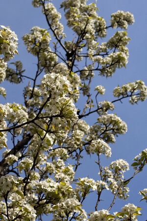 white blossoms on tree in early spring against a rich blue sky