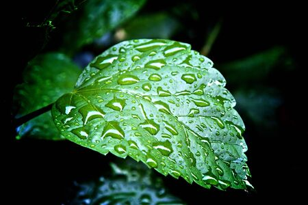 a rain soaked leaf glows with drops of reflective water