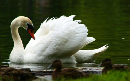 white mute swan swims across the lagoon with wings slightly raised looking at  ducks photo