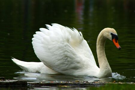 white mute swan swims across the lagoon with wings slightly raised Stock Photo