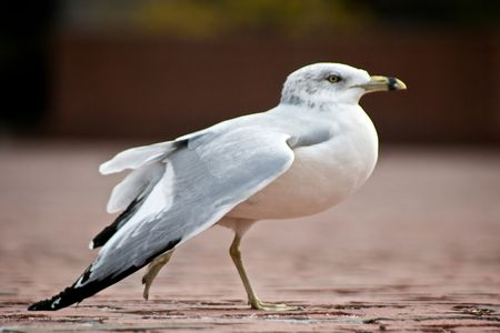 seemingly: beautiful specimen of a ring billed gull walking across the image seemingly dancing