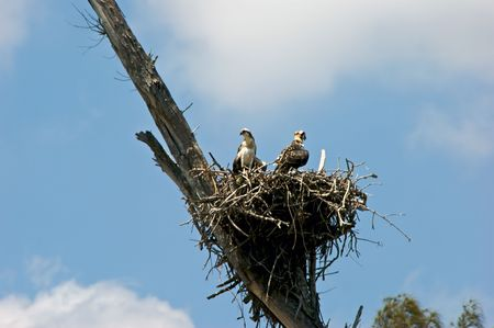 two young fish hawk osprey chicks perched in large nest in old tree photo