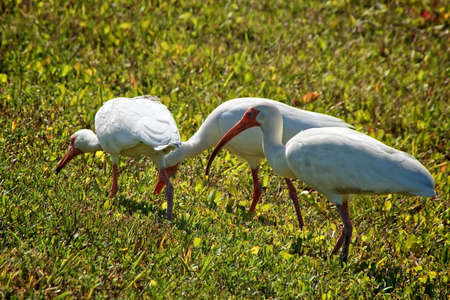 and egrets: three white heron egrets foraging in a field of green grass