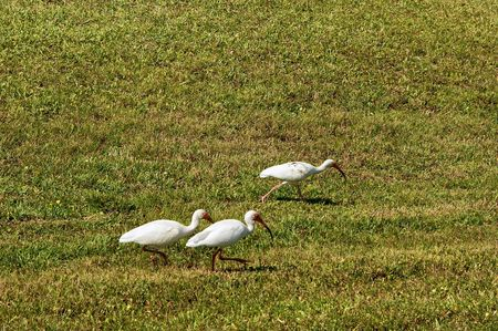 lower section: field of grass with three white egret herons walking across the lower section with lots of room for copyspace