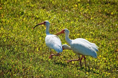 field of grass with three white egret herons foraging