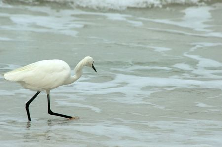 A beautiful Great white heron is walking into the low tide at the water's edge of the ocean
